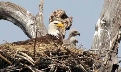 A bald eagle in a nest